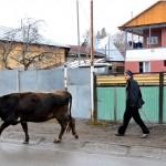 Georgia un uomo con la sua mucca lungo la strada verso il Caucaso Georgia man with his cow along the road to the Caucasus ph © Nicola De Marinis