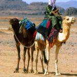 Algeria , un Tuareg con i suoi dromedari tra le ultime pendici delle Montagne dell'Hoggar a sud di Tamanrasset dove inzia la pista verso In Guezzam