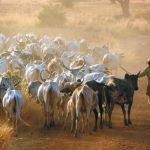 Burkina Faso, pastore con bovini lungo la pista Nanorò Bussè