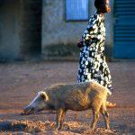 Burkina Faso, ragazzino con maiale per le strada Nanorò