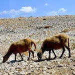 Europa, croazia, isola di pag, pecore al pascolo lungo la strada verso Metanja