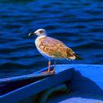 Croazia isola di Pag, un gabbiano sulla prua di una barca