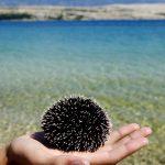 Europa, croazia, isola di Pag, riccio di mare