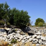 Europa, croazia, vecchi ulivi nel parco protetto vicino al villaggio di Lun sull'isola di pag