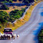 Un pastore segue il suo gregge in auto sulla strada che da che Kolan conduce a Mandre sull'isola di Pag