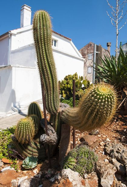 specimen cactus in a garden on the island Zverinak in croatia