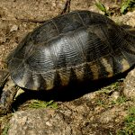 Europe, Italy, Sardinia, exemplary turtle in the Valley of the Moon in Santa Teresa di Gallura
