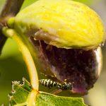 un'ape, succhia lo zucchero da un fico nelle campagne di bozava isola di dugi otok