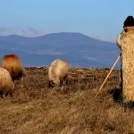europe, romania, a shepherd with his sheep on the foothills of the Carpathian mountains