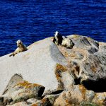 Europe, Italy, Sardinia, goats resting in the sun on the rocks at the head chief in the vicinity of Santa Teresa di Gallura